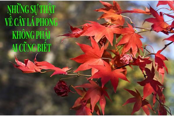 Những sự thật về cây lá Phong không phải ai cũng biết