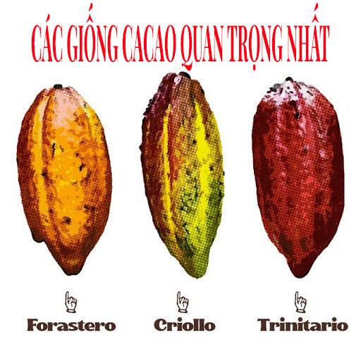 Các giống cây Cacao quan trọng nhất