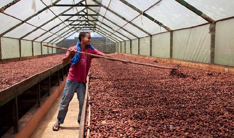 Hạt cacao đang được sấy khô