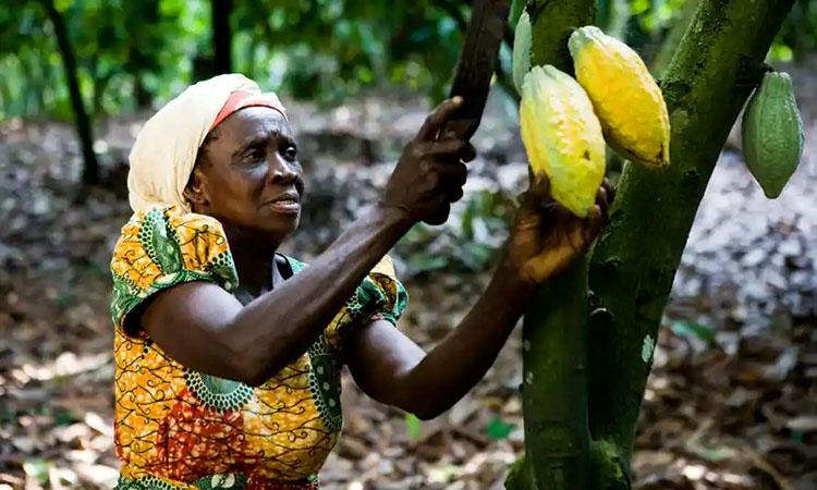 Phần lớn cây Cacao nguyên liệu được trồng ở các quốc gia Tây Phi