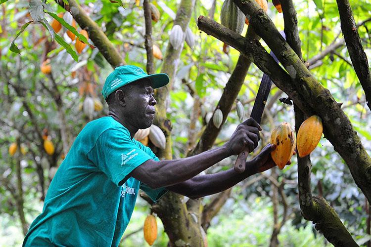 Thu hoạch quả Cacao