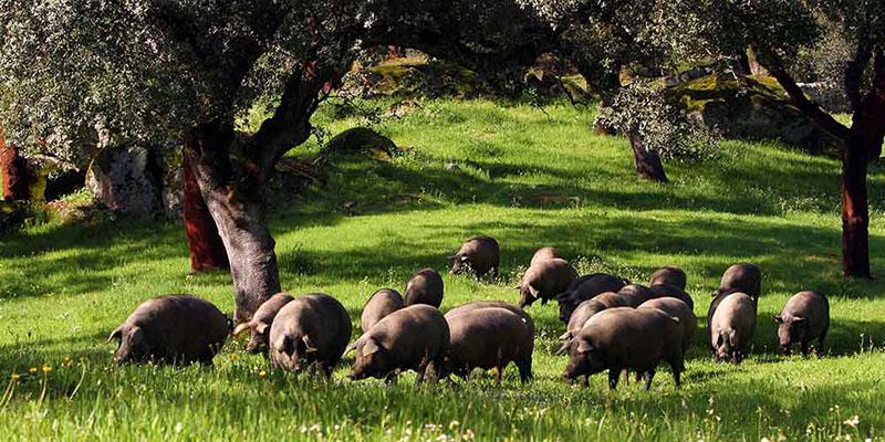 Heo đen Iberico được nuôi dưới những tán rừng Sồi