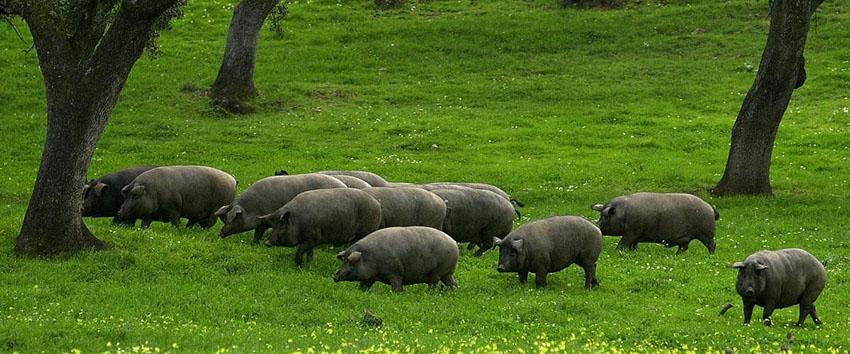 Heo đen Iberico là loài lai tạo giữa heo rừng và heo Địa Trung Hải