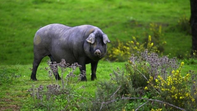 Heo đen Iberico mang nhiều tập tính hoang dã hơn heo bình thường