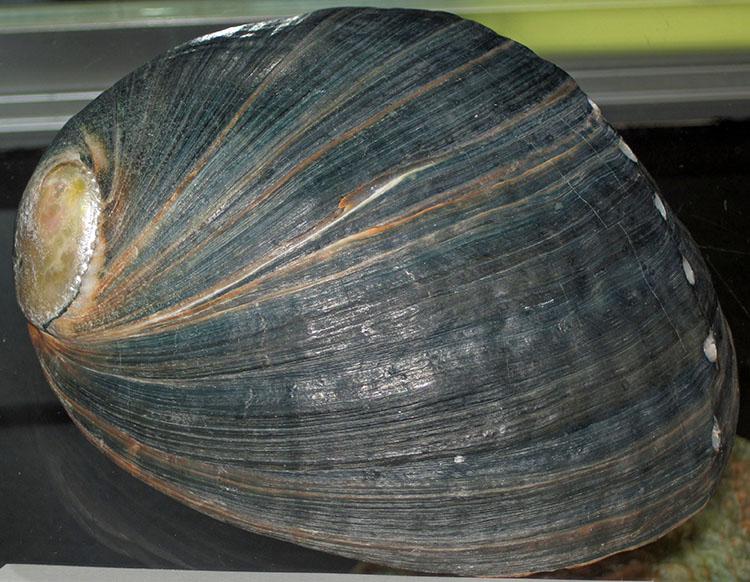Bào ngư đen Haliotis cracherodii