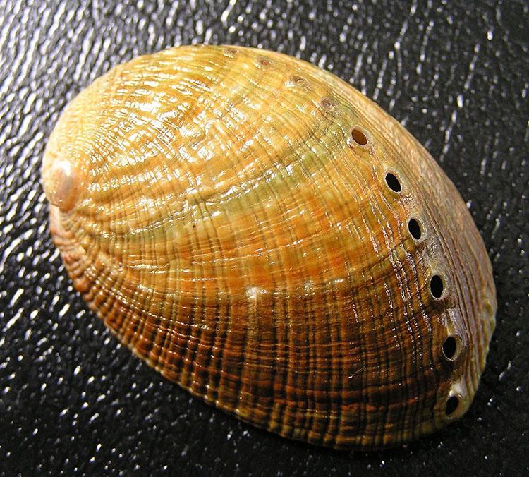 Bào ngư dẹt Haliotis walallensis