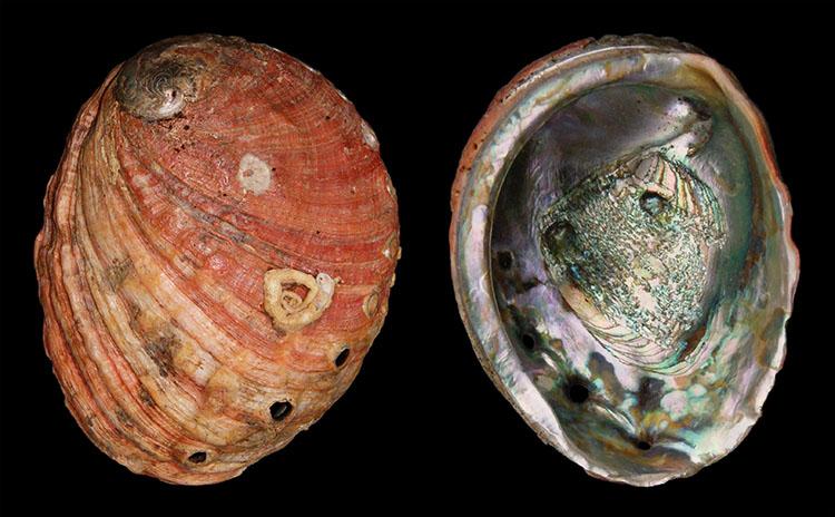Bào ngư đỏ Haliotis Rufescens