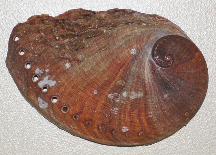 Bào ngư đốm máu Haliotis spadicea