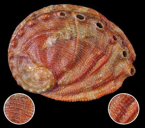 Bào ngư Galapagos Haliotis dalli