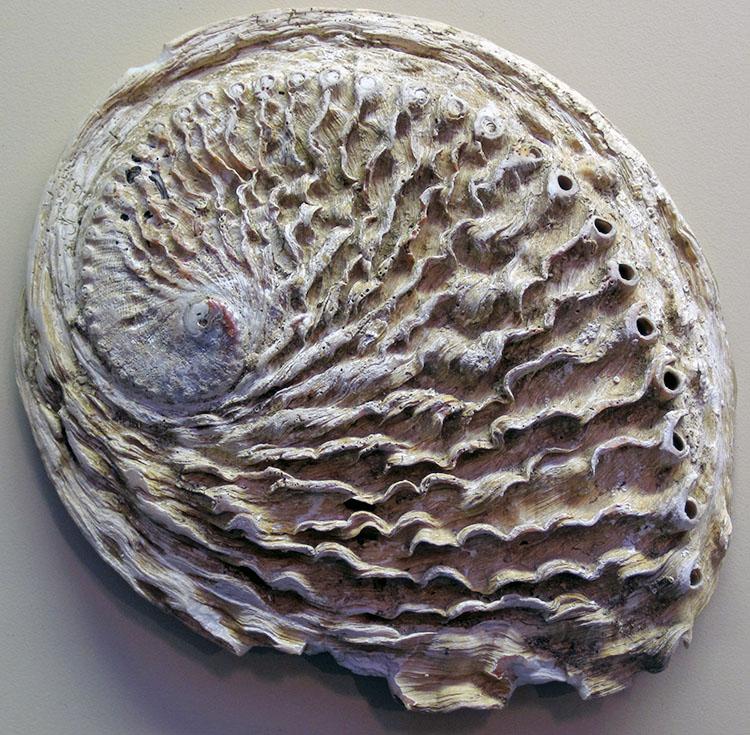 Bào ngư Nam Phi Haliotis midae