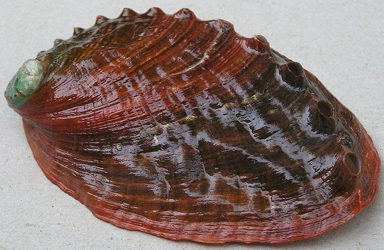 Bào ngư Pinto Haliotis kamtschatkana