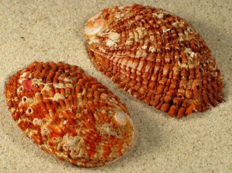 Bào ngư Squamose Haliotis squamosa
