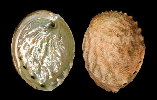 bào ngư trắng Haliotis sorenseni